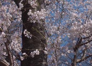 20150331桜