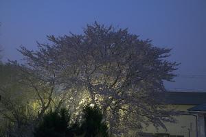 20150406夜明けの桜