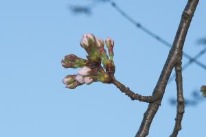 20160322桜