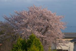 20160408桜