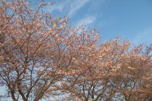 20160412桜