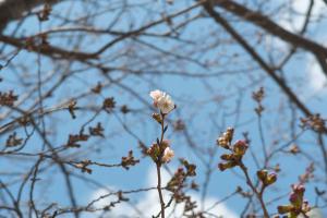20170329桜