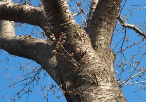 20180322桜の開花