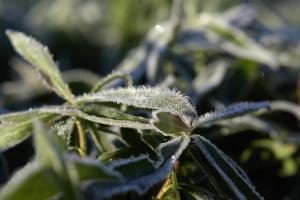 葉に付いた霜
