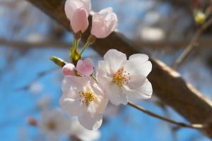 20200324桜