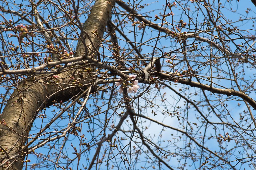 20160324桜の開花