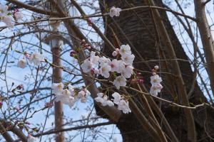 20210320桜